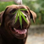 6 Classes, You May Be Taught From Bing Regarding Ideal Cbd Oil For Pets